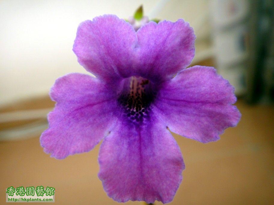 S. Jung\\\'s Violet Dew -a  21 Sept 2012.jpg