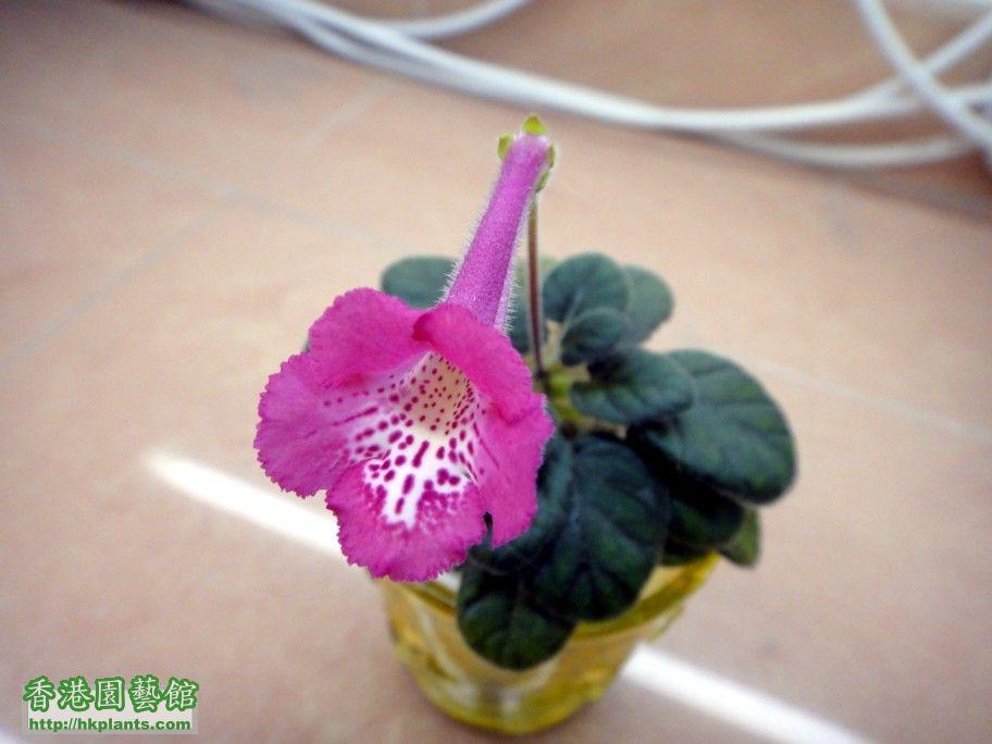 S. Tai Pink -b 7 Oct 2012.jpg