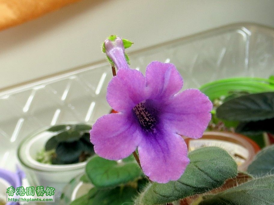 S. Jung\\\'s Violet Dew -c 20 May 2013.jpg