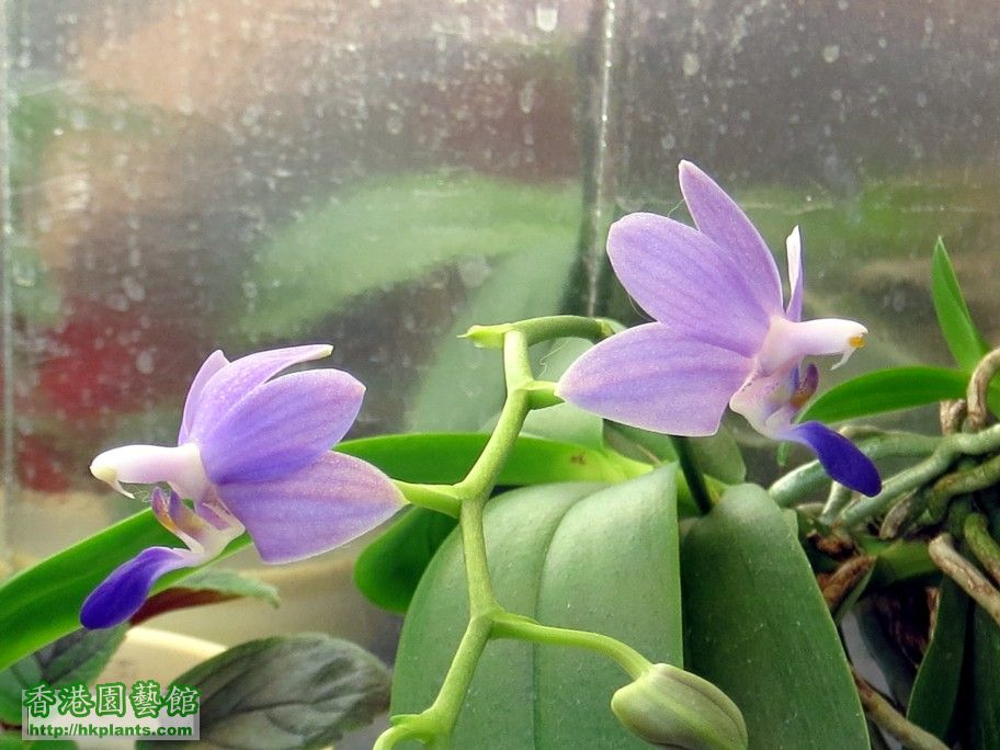 Dtps. Purple Martin -b 26 May 2014.jpg