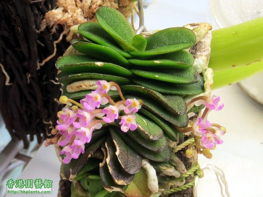 Schoenorchis fragrans -c 26 May 2014.jpg