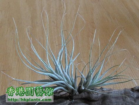Tillandsia ehlersiana \\'Rauh\\' 河豚.jpg