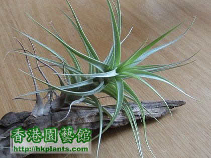 Tillandsia bergeri 貝姬 (not sure yet).jpg