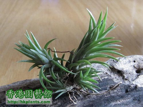 Tillandsia neglecta 日本第一.jpg