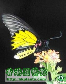 butterflies_image002金 裳 鳳 蝶 Troides aeacus.jpg