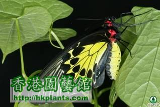 butterflies_image001裳 鳳 蝶 Troides helena.jpg