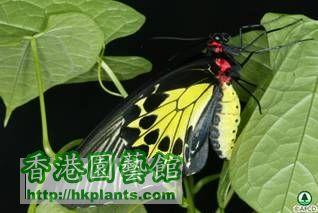 butterflies_image001裳 鳳 蝶 Troides helena.jpg