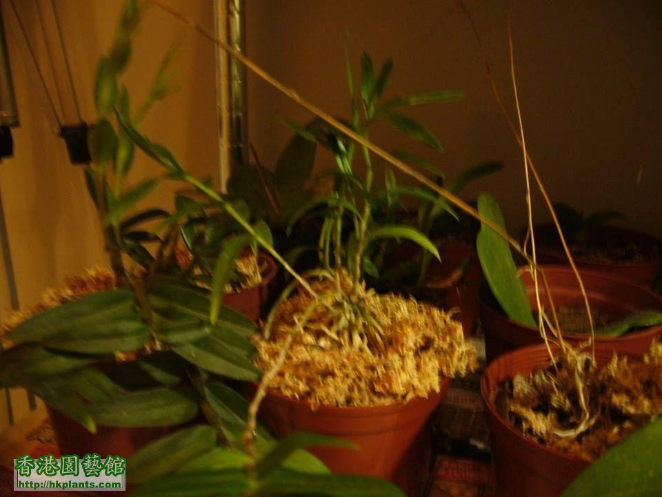 紫藍石斛蘭