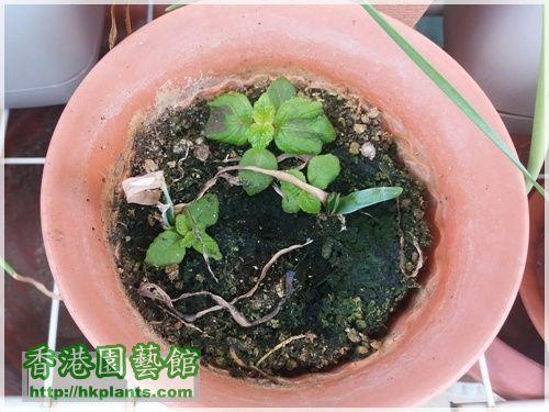 Achimenes Grandiflora 'Robert Dressler'-2016-002.jpg