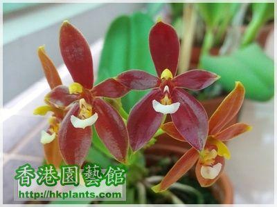 Phalaenopsis cornu-cervi var forma chattaladae 4n-2016-007.jpg