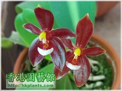 Phalaenopsis cornu-cervi var forma chattaladae 4n-2016-005.jpg