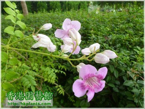 紫雲藤-001G.JPG