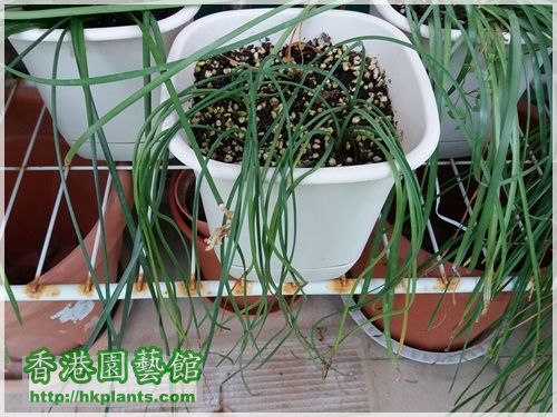 Zephyranthes Cooperia traubii-2017-001.jpg
