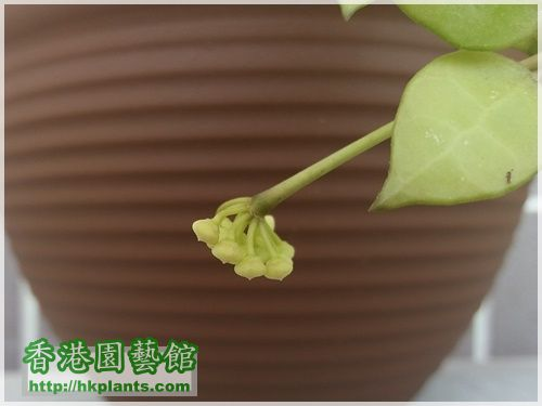 Hoya lacunosa-2017-006.jpg