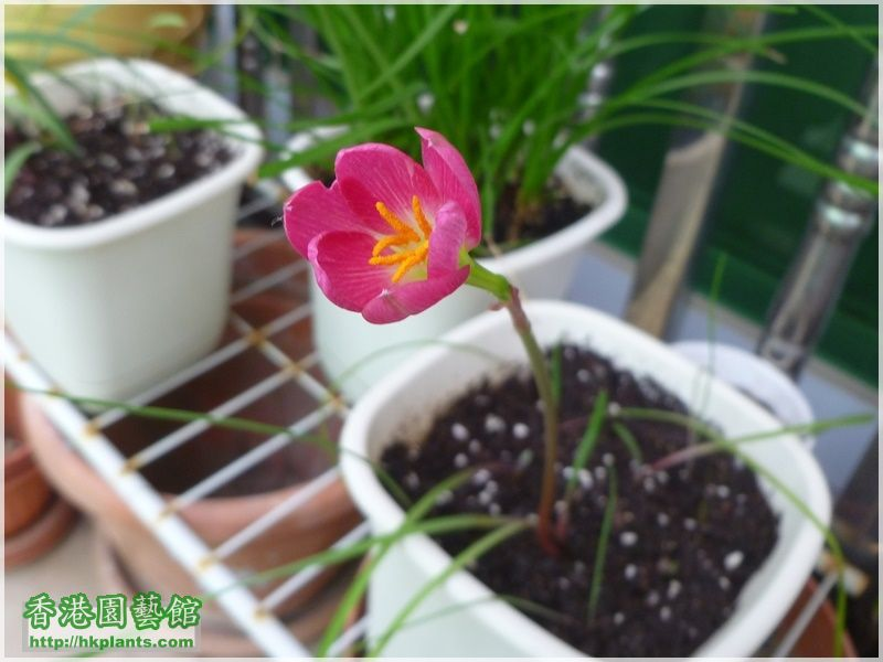 Zephyranthes katherinae 'Jacala Red'-2017-007.JPG