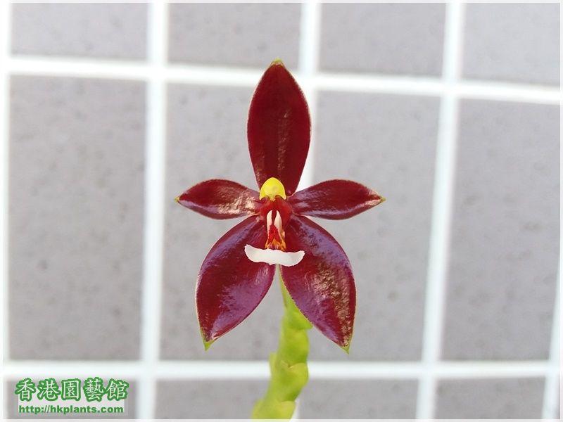 Phalaenopsis cornu-cervi var forma chattaladae 4n-2017-002.jpg
