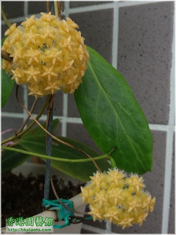 Hoya Mindorensis Yellow Corona-2017-017.jpg