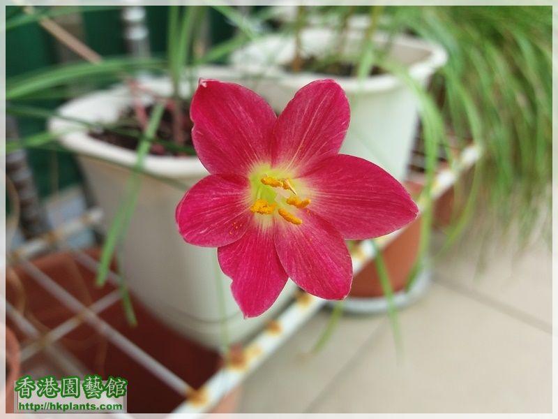 Zephyranthes katherinae 'Jacala Red'-2017-011.jpg