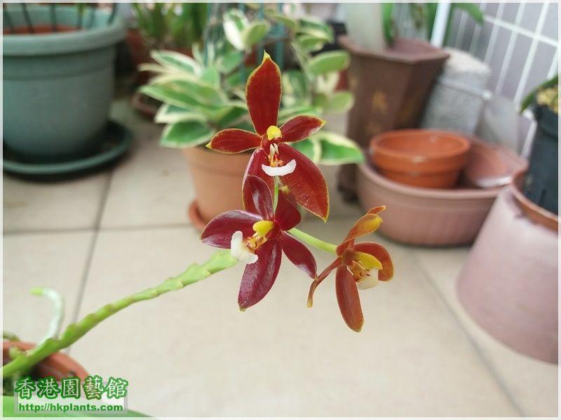 Phalaenopsis cornu-cervi var forma chattaladae 4n-2017-003.jpg