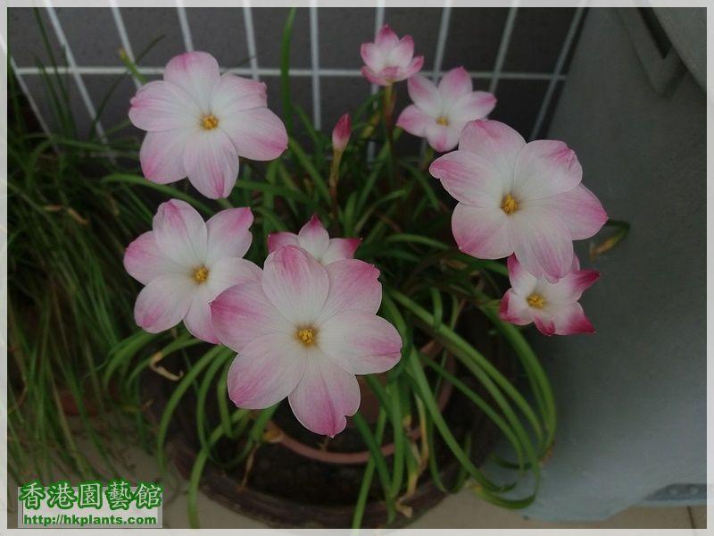 Zephyranthes sp. Labuffarosa 'Lily Pies'-2017-002.jpg
