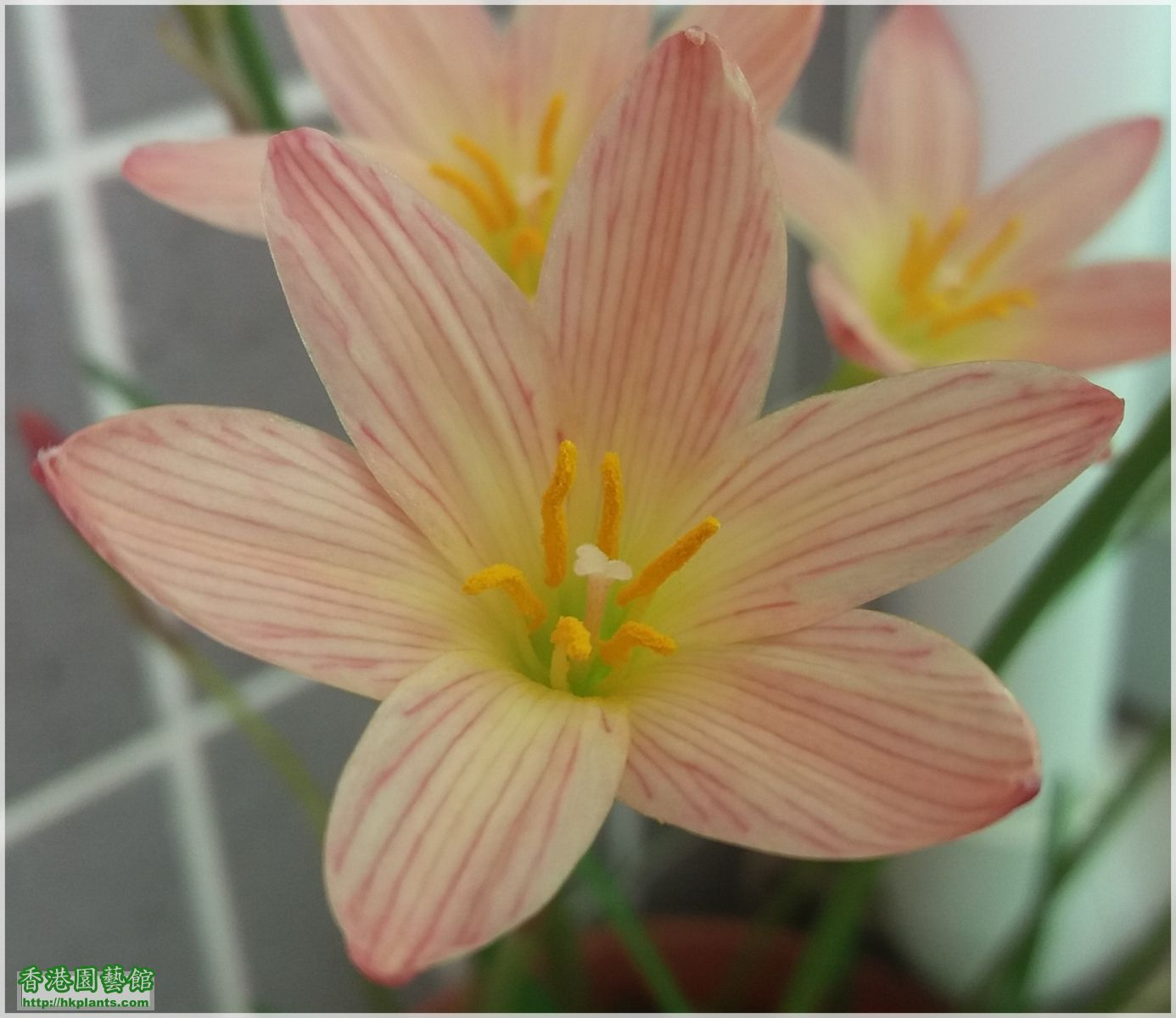 Zephyranthes Sunset Strain-2017-005.jpg