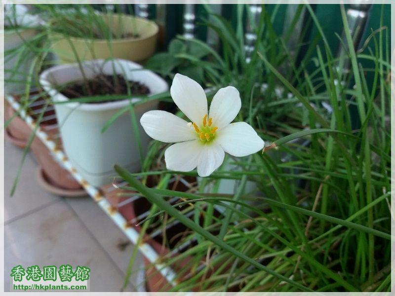 Zephyranthes Candida-2017-002.jpg