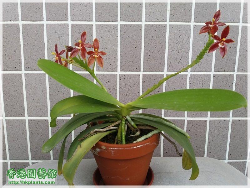 Phalaenopsis cornu-cervi var forma chattaladae 4n-2017-006.jpg