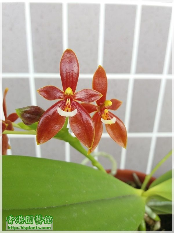 Phalaenopsis cornu-cervi var forma chattaladae 4n-2017-008.jpg