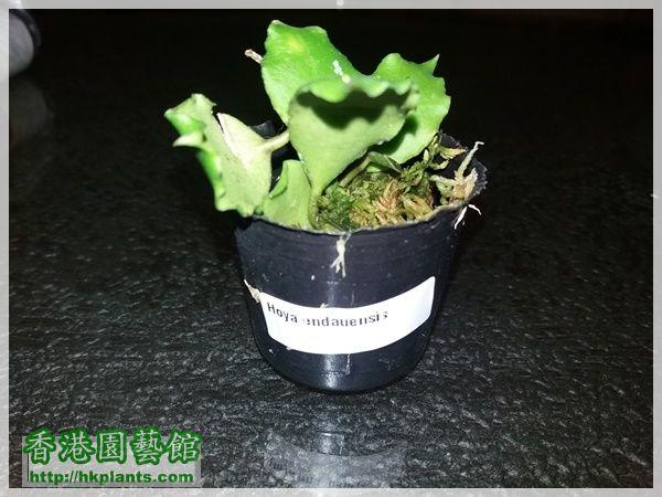 Hoya Endauensis-2017-001.jpg