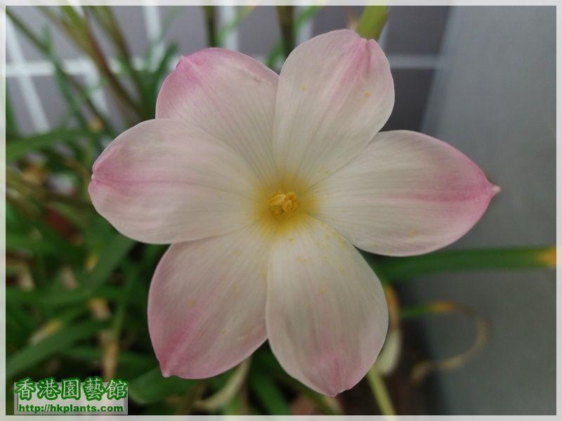 Zephyranthes sp. Labuffarosa 'Lily Pies'-2017-007.jpg