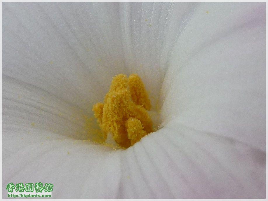 Zephyranthes sp. Labuffarosa 'Lily Pies'-2017-008a.JPG
