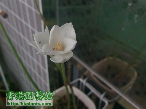 B17 - Zephyranthes Cooperia traubii.jpg