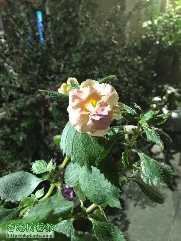 english yellow rose