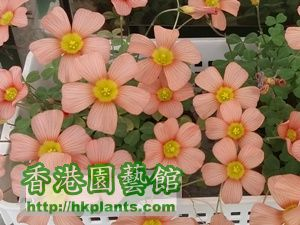 Oxalis Obtusa 'Polished Copper'-2015-013s.jpg