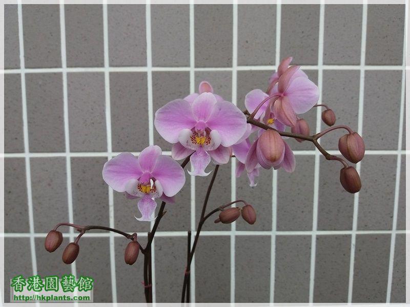 Phalaenopsis schilleriana-2018-005.jpg