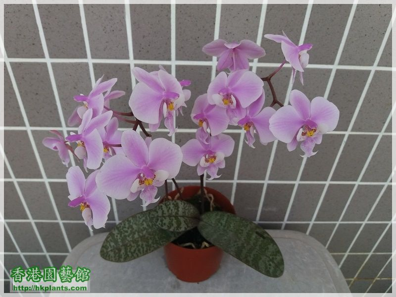 Phalaenopsis schilleriana-2018-009.jpg
