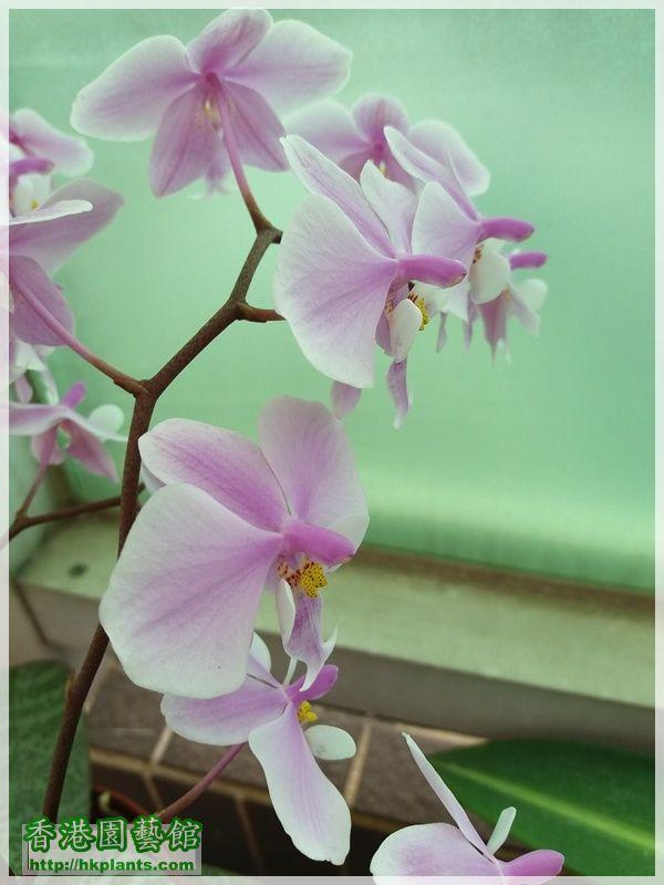 Phalaenopsis schilleriana-2018-011.jpg