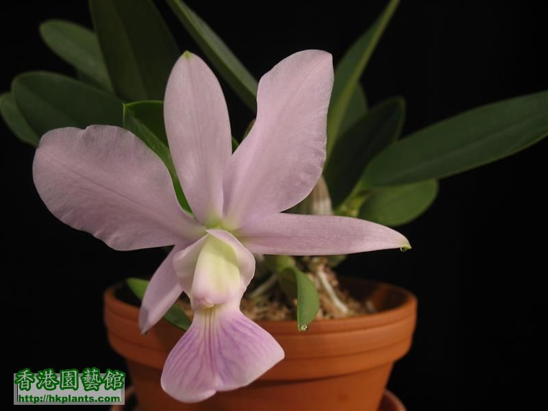 C. walkeriana var coerulea 'Manhattan Blue' (10).JPG