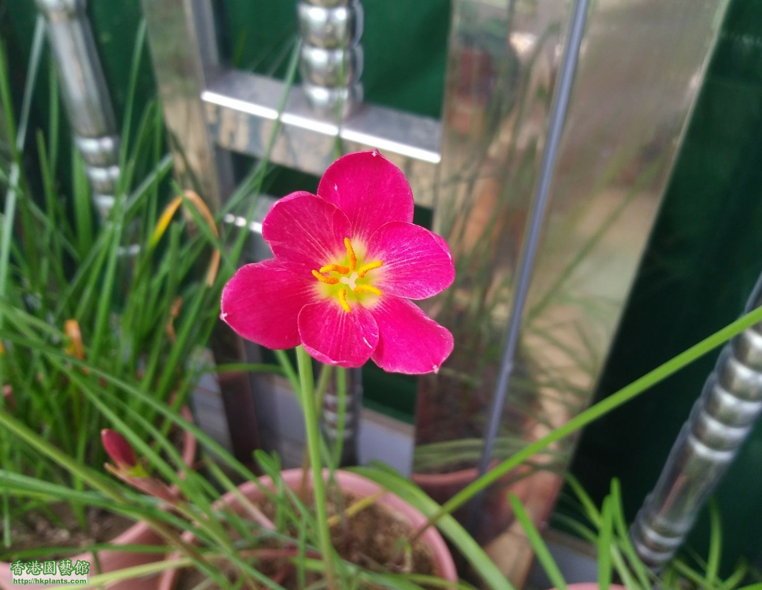 Zephyranthes katherinae 'Jacala Red'-種子-2018-008.jpg