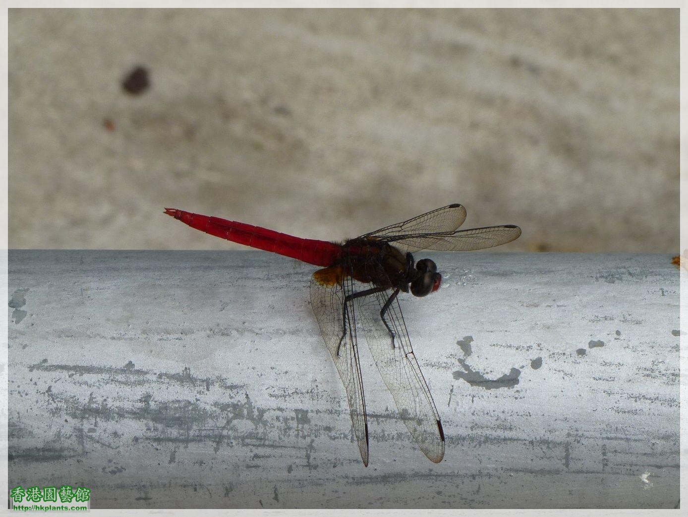 蜻蜓-001.JPG