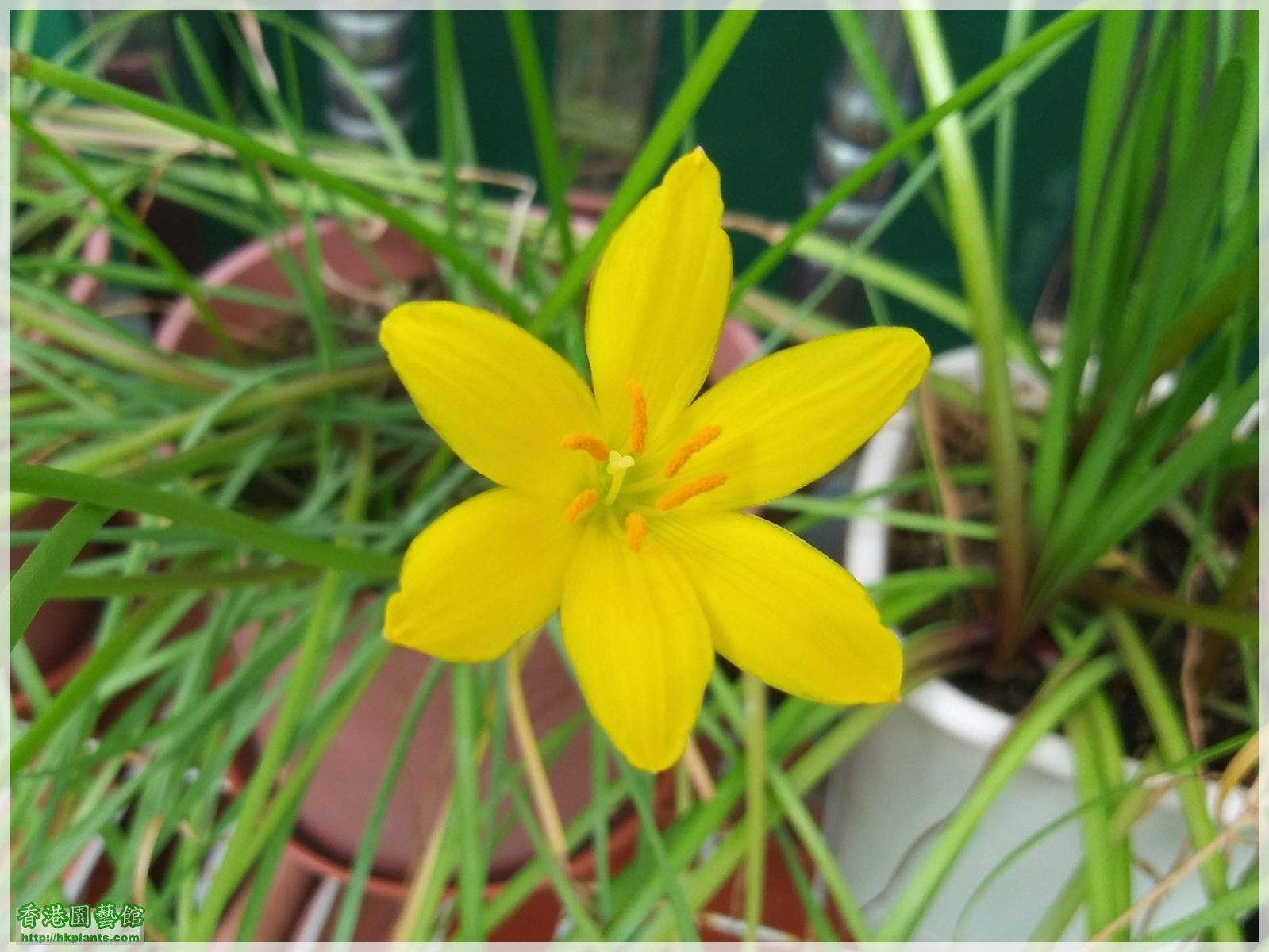 Zephyranthes Citrina-2018-012.jpg