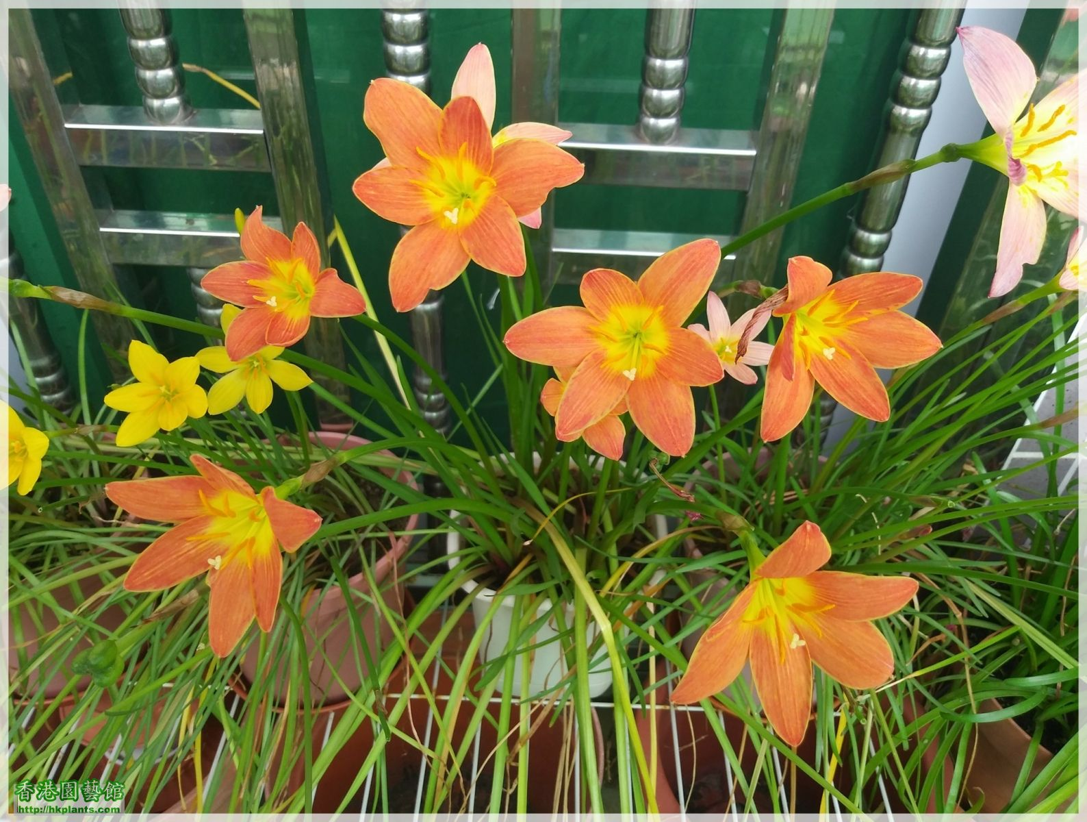 Zephyranthes Java-2018-017.jpg