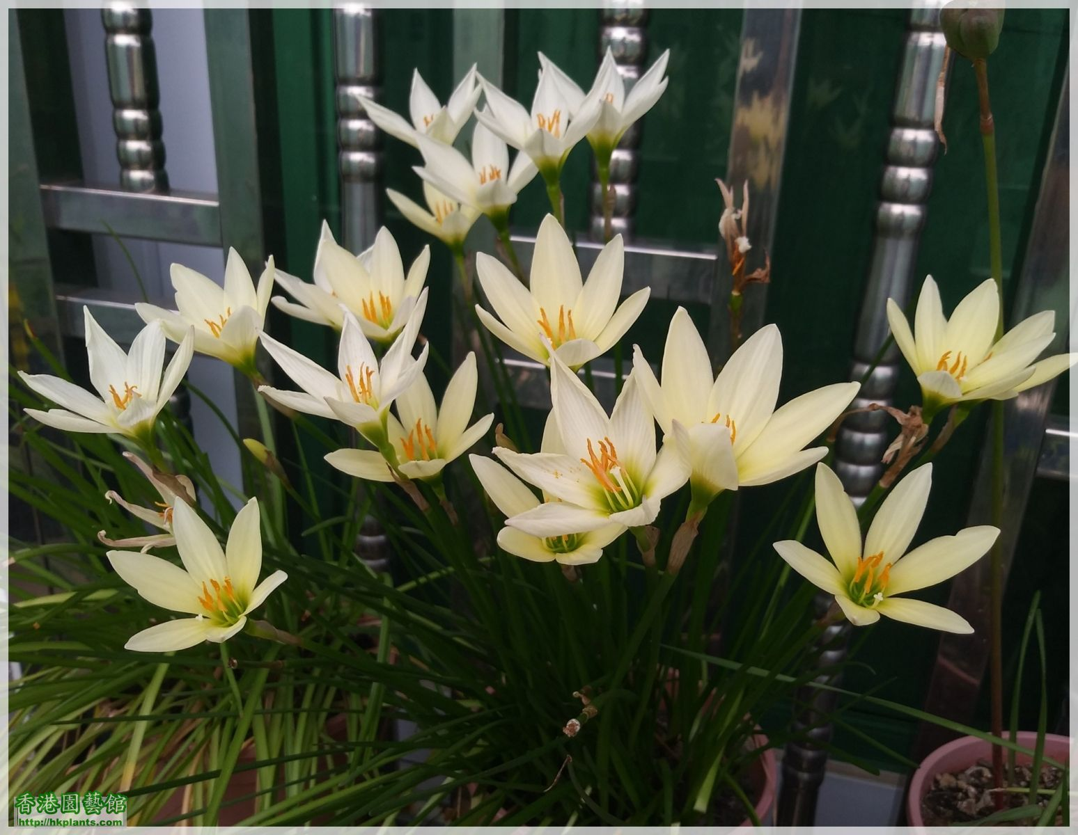 Zephyranthes 'Ajax'-2018-012.jpg