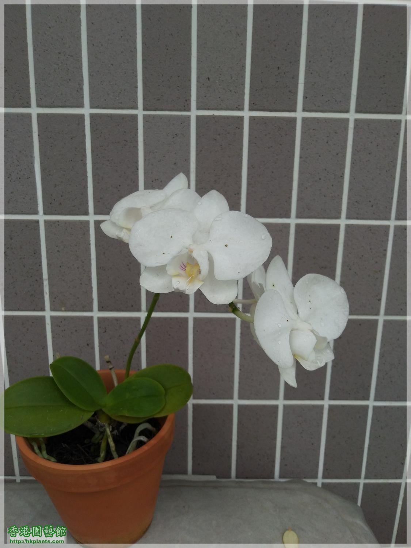 蝴蝶蘭-白花-2020-008.jpg