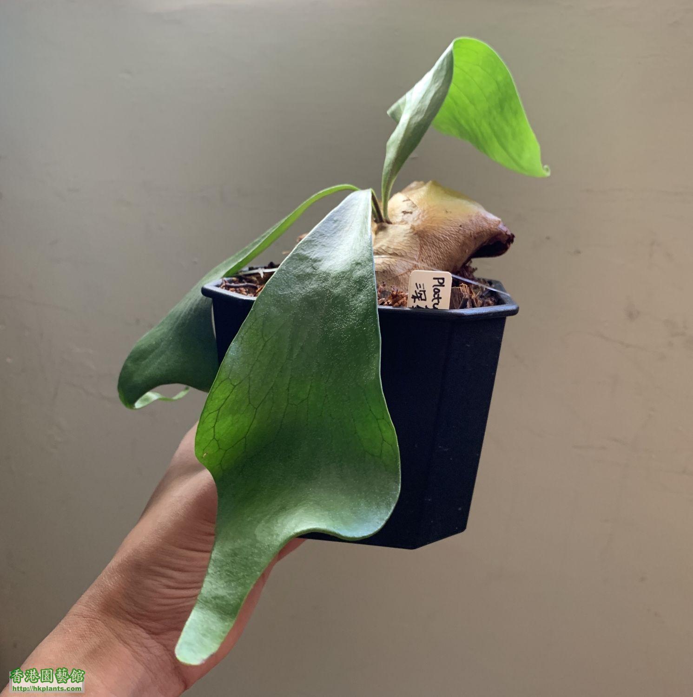 深綠鹿角蕨