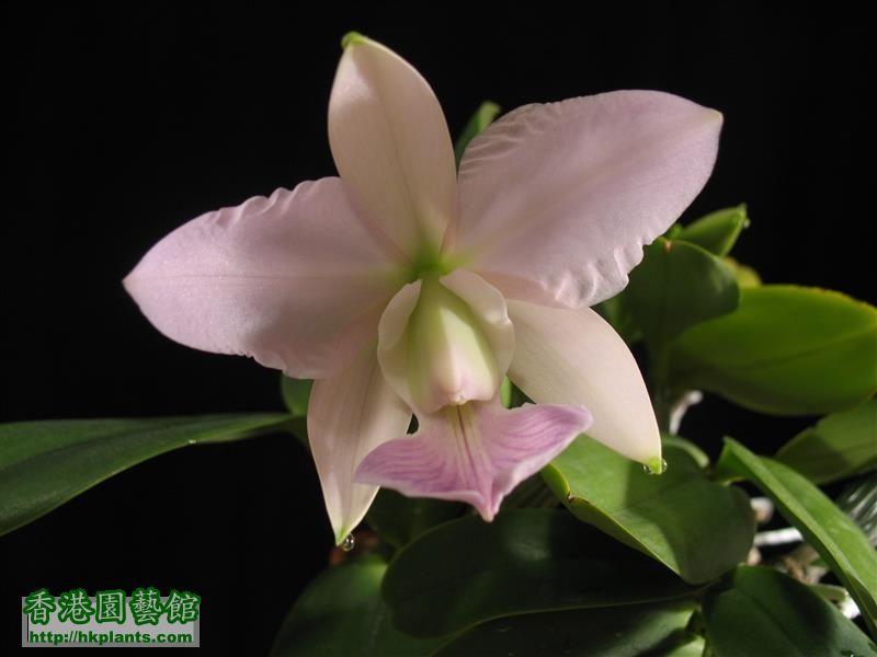 C. walkeriana x C. nobilior (25).JPG