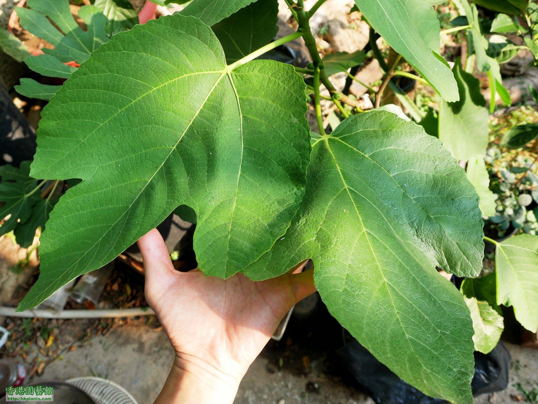 Ficus Carica Adam, 夠晒大