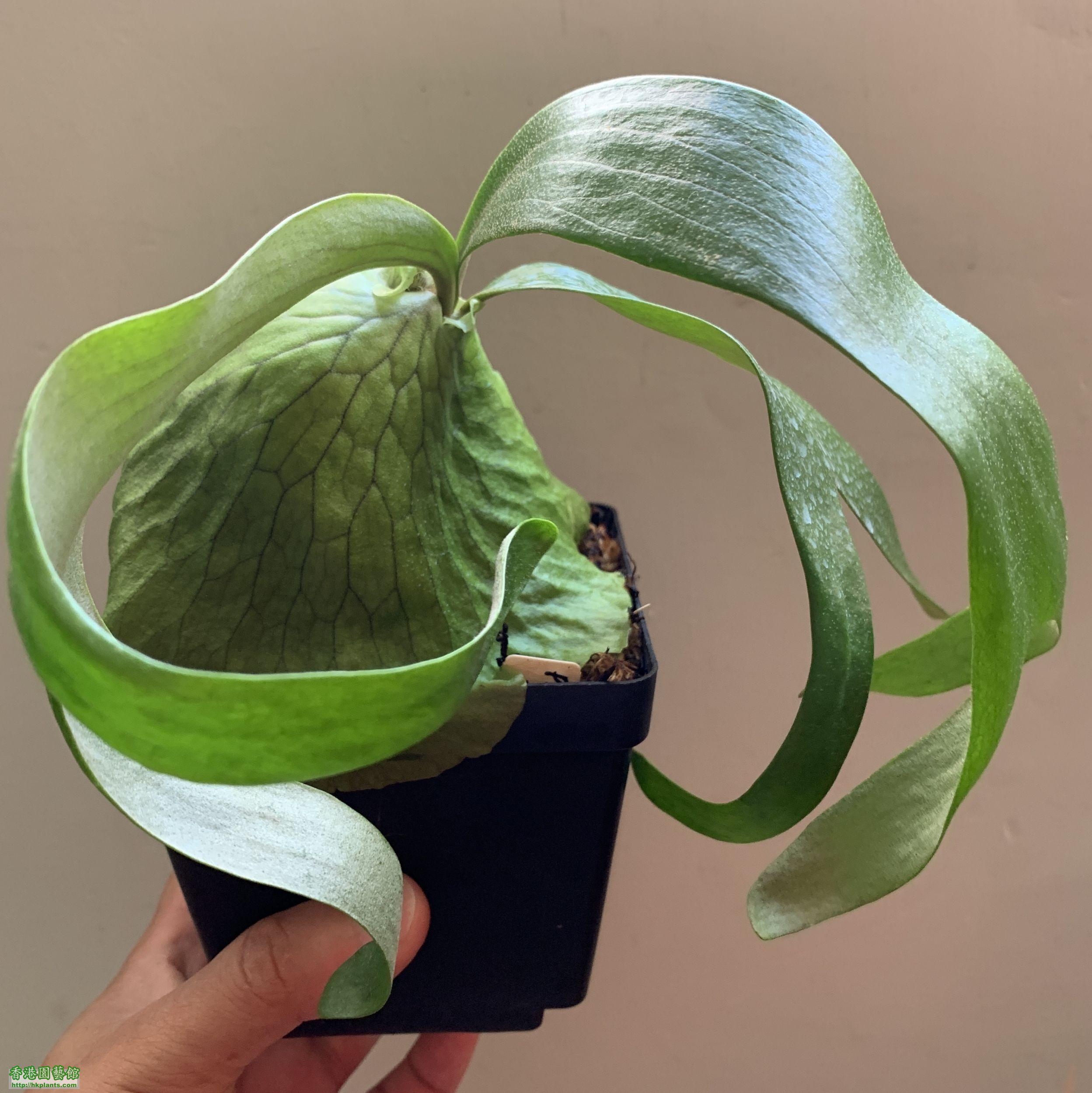 達爾文鹿角蕨