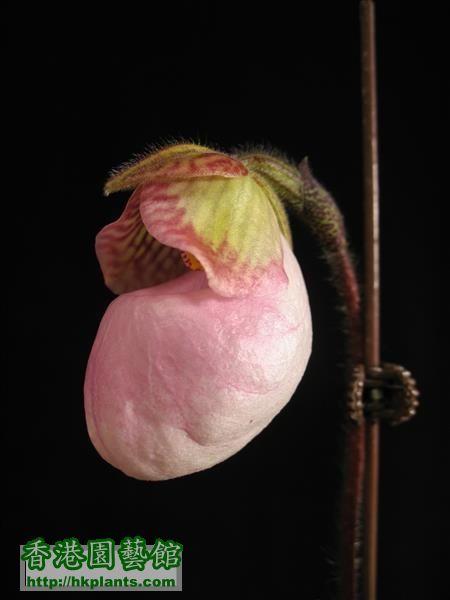 Paphiopedilum micranthum (54).JPG