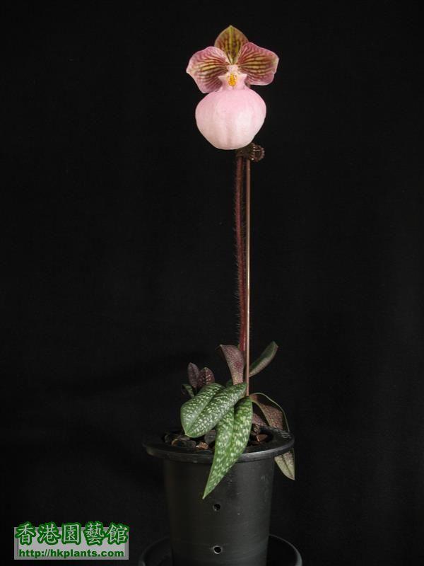 Paphiopedilum micranthum (67).JPG